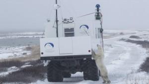 Google Maps: tęsknicie za zimą? Zobaczcie niedźwiedzie polarne w Street View z Kanady