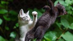 Montajes de Photoshop: 10 imágenes divertidas protagonizadas por estos gatos luchadores