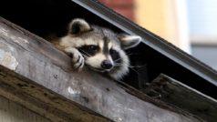 El mapache que enamoró (e hizo sufrir) a todo Internet