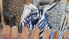 Facebook: Un zoo del Cairo pinta a sus burros para hacerlos pasar por cebras