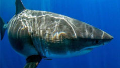 Deep Blue, un tiburón blanco de 7 metros de longitud, reaparece en aguas hawaianas
