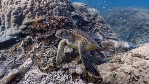 Google Maps Street View lässt Sie am weltgrößten Korallenriff mit Schildkröten schwimmen